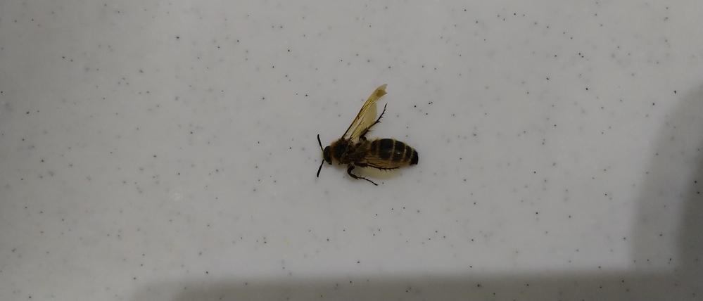 この蜂の種類わかりますか? 刺されたようです。 今の所大丈夫のようですが、毒ありますか? 手で払うときにもチクッとしましたが、指は刺されてはないようです。噛りますか?