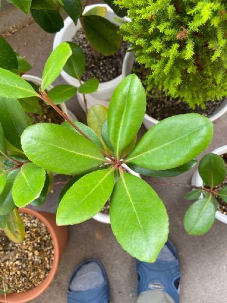 植木市で買ってきたのですが、この植物の名前が分かりません。分かれば、名前を教えてください。