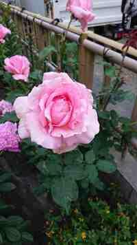 バラの品種を教えて下さい。 祖母が約50年前に祖母の実家(北海道)の庭から分けてもらったバラです。私も最近バラに興味を持ち育て始めているのですが、この祖母のバラの品種が気になってしかたありません。下記の情報で、どなたかおわかりになるかたいらっしゃいますでしょうか。  ・花径はよく咲いたもので15cmとかなり大きい ・爽やかで品のよい香りがする(中~強香) ・直立でベイサルシュートはほとんど出...