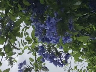 花の名前を教えて下さい。 今の時期に関東で咲いています。 建物の上に植栽されていて、枝垂れるように咲いていました。
