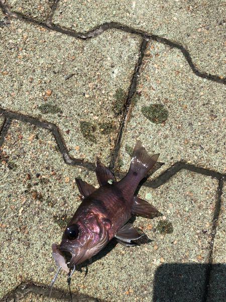 昨日鹿児島の漁港で釣ったこの魚はなんでしょう?