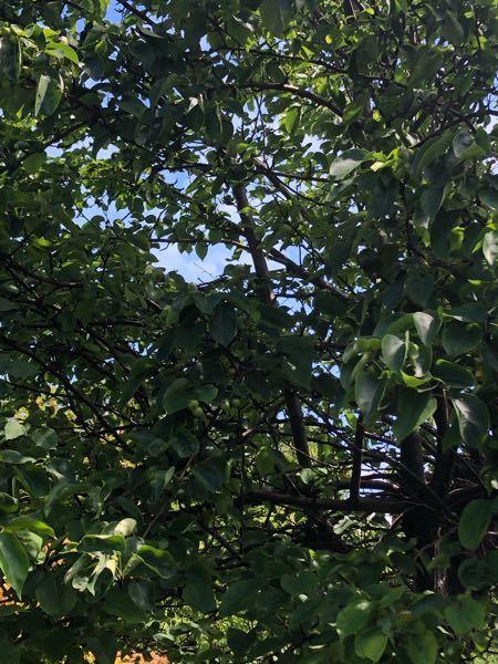 植物に詳しい方教えて下さい。 この木はなんの木ですか?春に白い花をつけていました。実がなっています。何の実ですか? 北海道です。 よろしくお願い致します。