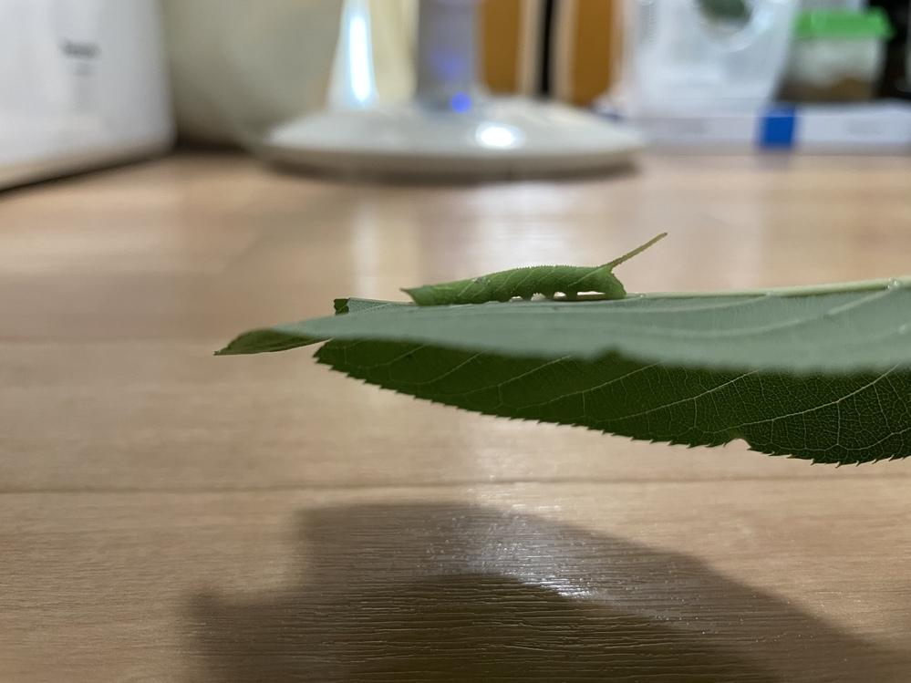 桜の葉っぱにこんな幼虫がくっついていました。 おそらく蛾の幼虫だということは調べてわかったのですが、頭にもツノが1本あり、おしりにも長いツノが1本ある幼虫は探しても出てきませんでした。 この幼虫がなんの幼虫なのかわかる方がいましたら教えていただきたいです。 よろしくお願いします。