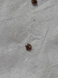 タンスの中に居た虫ですが、なんという虫かご存知の方、教えて下さい。 背中側の写真を添付致します。