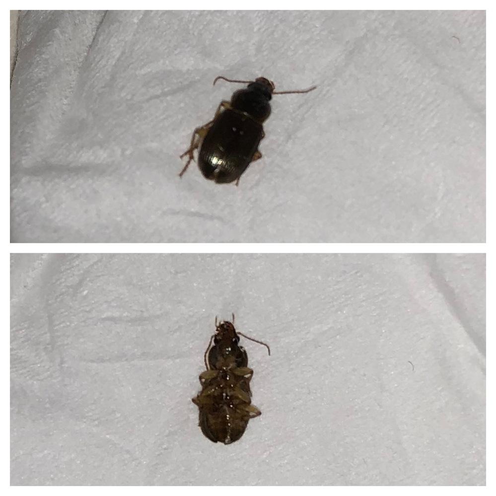 虫に詳しい方教えてください!! ゴキブリのような小さい虫が家にでましたが、これはゴキブリの赤ちゃんでしょうか? 冬にも1匹、同じような虫が出たことがあります。 体長は1センチないくらいで、 三段回に顔や体が別れていて、白い横線のようなものは見られないです。