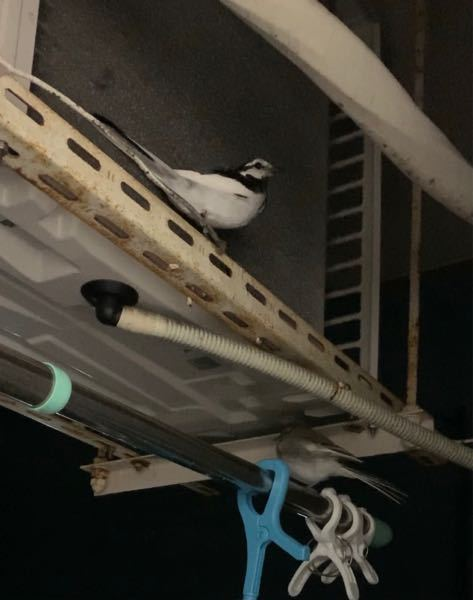 この鳥の名前を教えてください。 最近住み着くようになっているのですが、人間にとって害はないのでしょうか?
