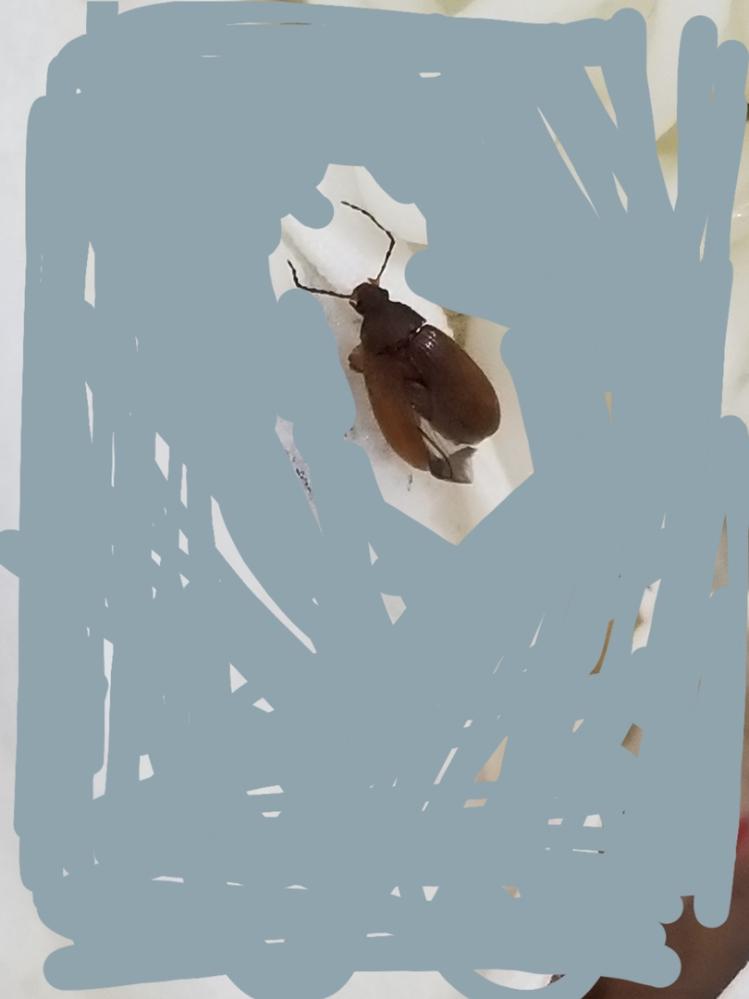 新築戸建てに入居して半年になります。 先ほどクローゼットから出てきた?感じで触角を含めると1cmぐらいのゴキブリのような虫が出てきました。 ゴキブリにしては触角が短いのかな?と思うのですが、ゴキブリだったらそれなりの対策しないとと慌てております。 調べてみたけど潰してしまった後なので正体がわからずじまいでモヤモヤしております。 どなたかこの虫の正体がわかる方いらっしゃいませんか??