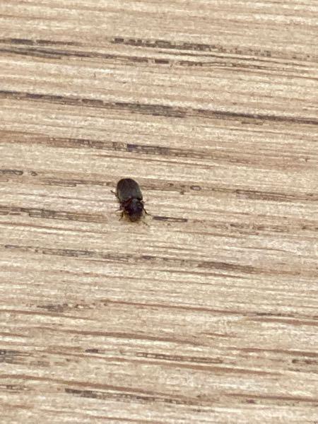 これははなんという虫ですか? 直径1mmほどのとても小さな虫です。