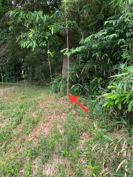 これは 竹ですか? 2〜3日で急に伸びて来ました