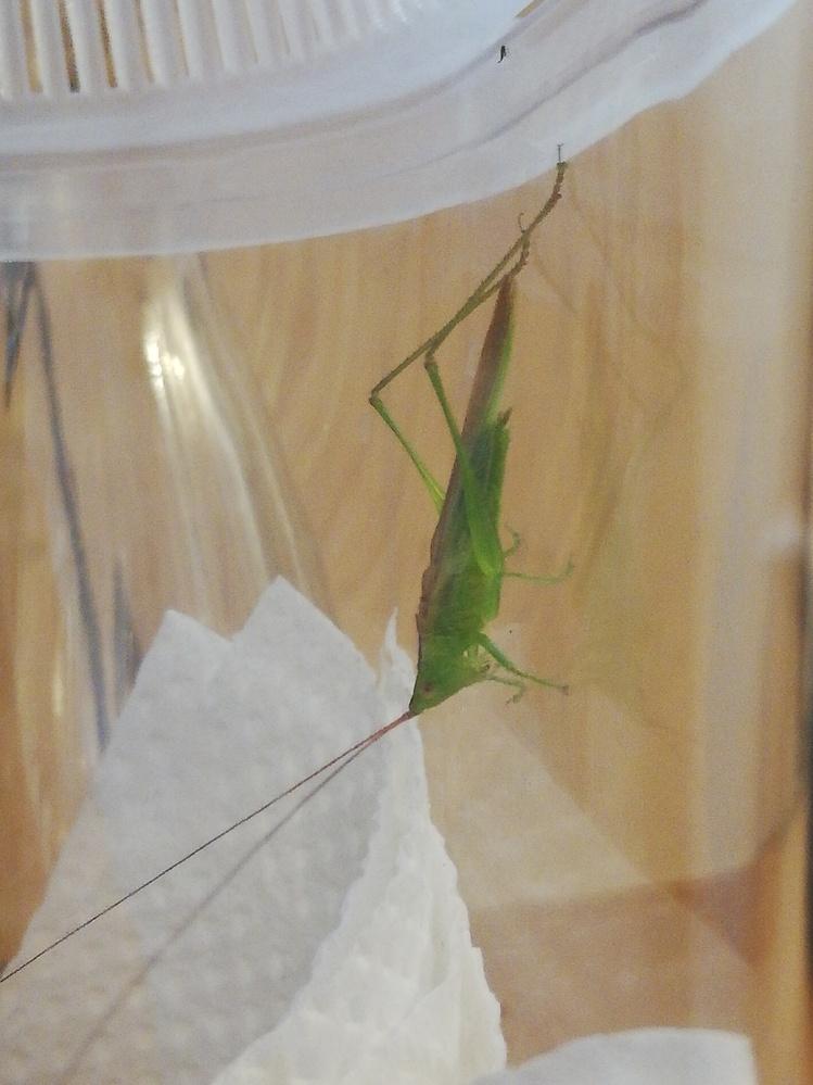 この虫、触覚が長いのですが、 バッタですか?コオロギですか? というかなんという名前の虫ですか?? ちなみに一緒に入れていたコオロギは食べられてしまいました 詳しい方教えてください よろしくお願いします