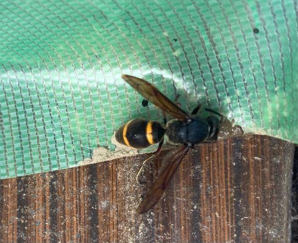 この蜂?の名前を教えてください。
