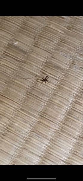 これってなんの虫ですか? コオロギっぽく見えるけど、そのわりには小さいし いつもほお風呂場にいるんですけど 今日はなぜか畳の上で見かけました( ; ; ) ぴょんぴょん飛びます
