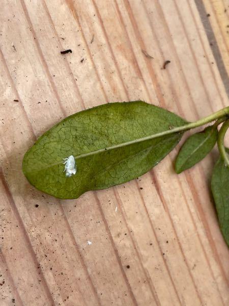 この虫はなんでしょうか。 花木にいっぱいいて、枝が白くなっています。