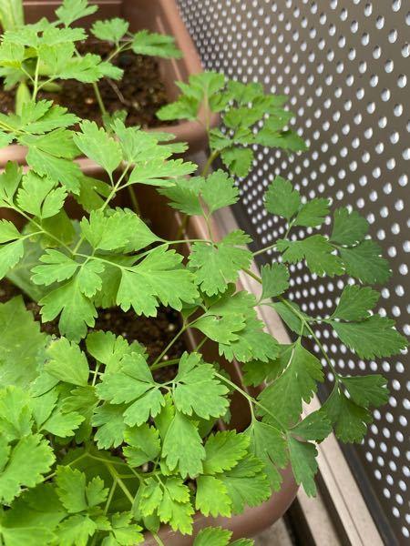 チップをつけ忘れていたので再投稿です!! 先ほどお答えいただいたみなさますみません(>_<) 大葉を育ててるプランターに気づけばどんどん生えてきました。 匂いはなく、葉っぱをちょっとかじったら苦かったです。 いったいこの植物はなんなのか、ご存知の方教えていただきたいです。