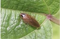 この写真の虫はゴキブリの仲間ですか? 落ち葉の中にいたり、草木の中にいました。