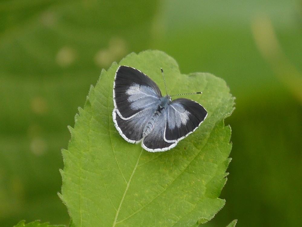 この蝶の名前を教えてください。お願いいたします。