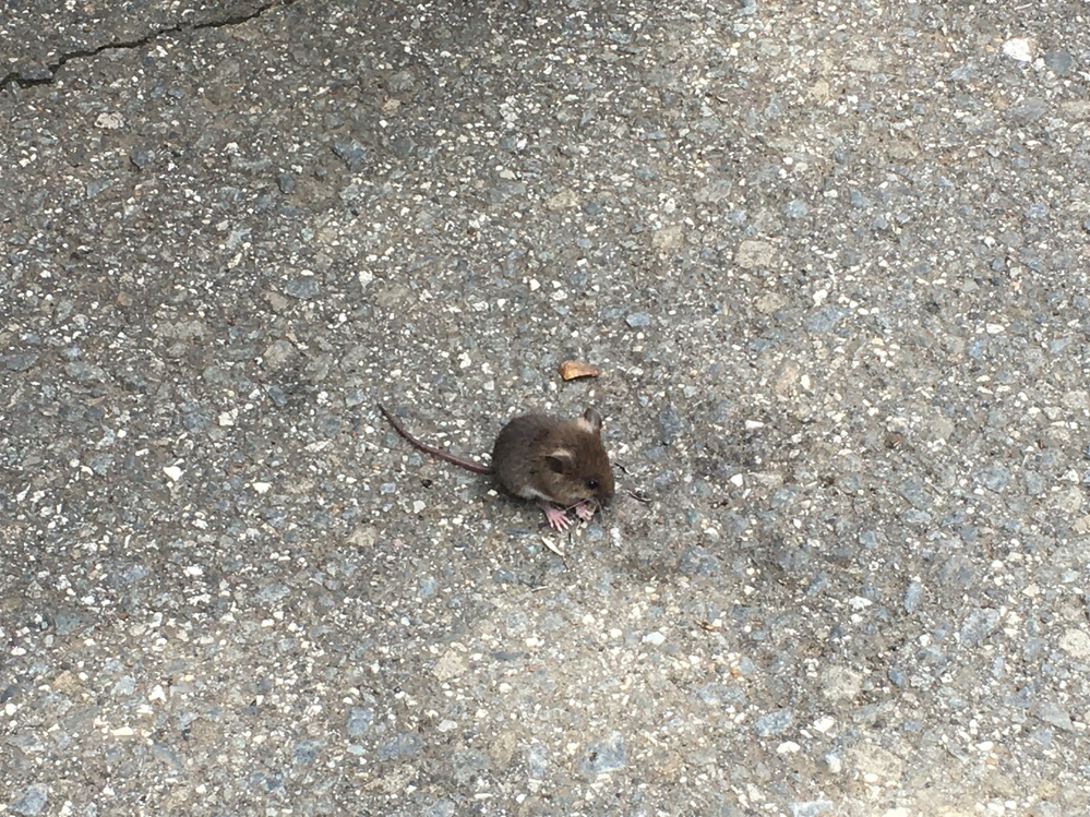 このネズミはなんという名前のネズミですか?見かけた場所は青木ケ原樹海のすぐそばの駐車場でした。