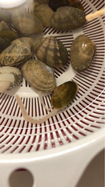 アサリ?に似ている貝から 細長いものが2本出ています。 これは、アサリですか?食べれますか? 子供が潮干狩りで取ってきた貝です。