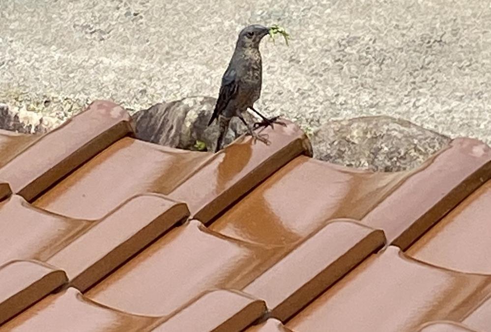この鳥は何ですか? ここの所3日くらい家に来ています。 ぴっぴっジュクジュクって感じで鳴きます。 毎日いるので気になります