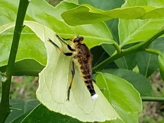 昆虫に詳しい方 教えてください。 蜂の仲間のような気がしますが なんという虫でしょうか?