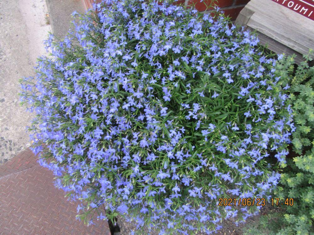 この花の名前を教えてください。 小さい紫の花が鉢植えに群生してました。 よく見かけますが、名前がわかりません。