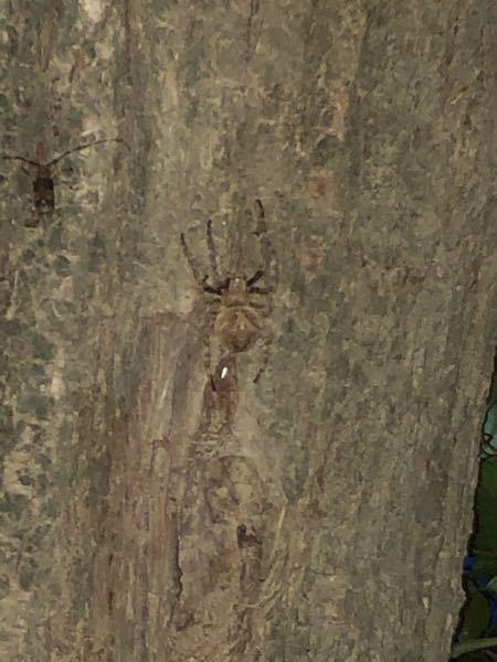 この蜘蛛はなんて名前ですか?タランチュラかってくらいそこそこでかくて、お腹も結構ふっくらしてます