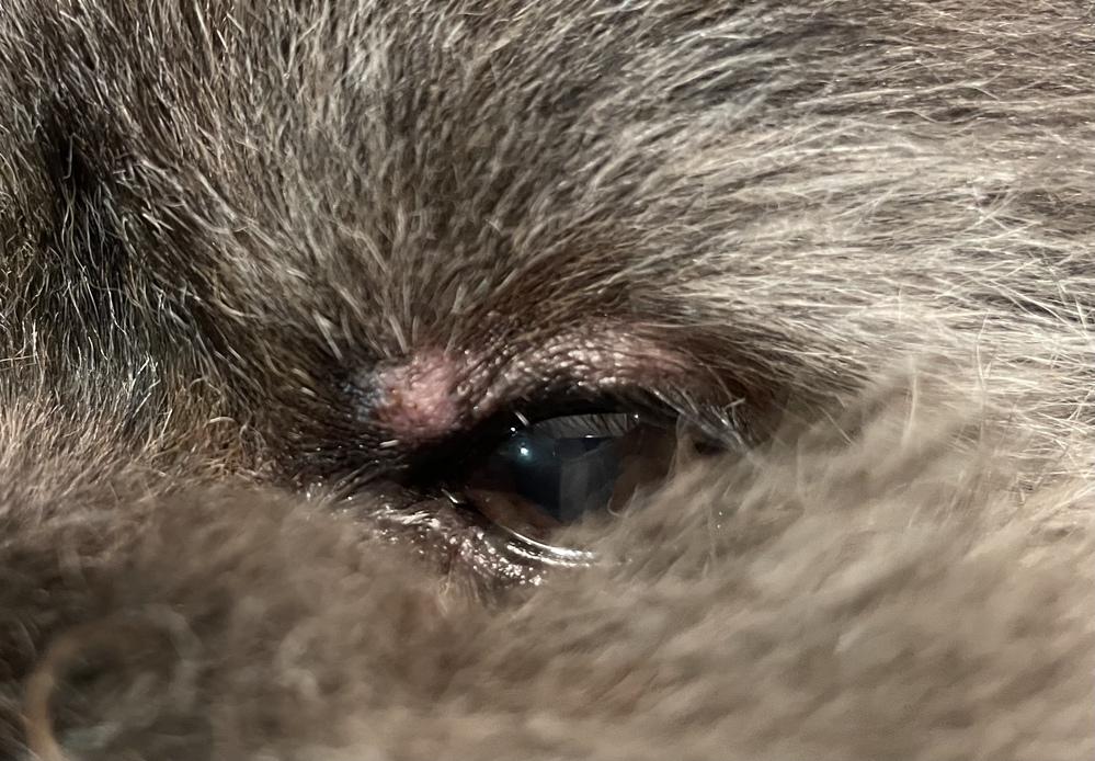 飼い犬の目の上に添付画像のようなできものができていました。 痒がっている様子などはありません。写真だと分かりづらくて申し訳ないのですが少し腫れています。 両親の仕事の都合上、私が動物病院に連れていくつもりなので、もし手術が必要な病気であったら手持ちで足りないと思ったので質問させて頂きました。 また、点眼薬などが処方された場合どのくらいお金がかかるのか教えて頂きたいです。よろしくお願いします。