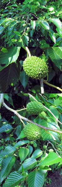 6月の標高300m~400mくらいの低山にあった植物です。 鱗状の皮の松ぼっくりに似た緑色の実?が、いくつもついています。 何という名前の植物でしょうか??