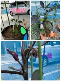 ナスのプランター栽培。 種屋さんから苗を買ってきての定植です。 定植後1ヶ月たちましたが、未だに花が咲きません。 肥料食いをしらずに追肥をしておらず10日ほど前に化成肥料を与えました。 本日はハイポネックスの液肥を与えました。 蕾はこんなに長い間花を咲かせないものなのでしょうか。 5週間ほど前、葉のうらにハダニの卵を発見し、駆除、その後は虫等はついていません。 定植当初はまだ気温が寒かったで...