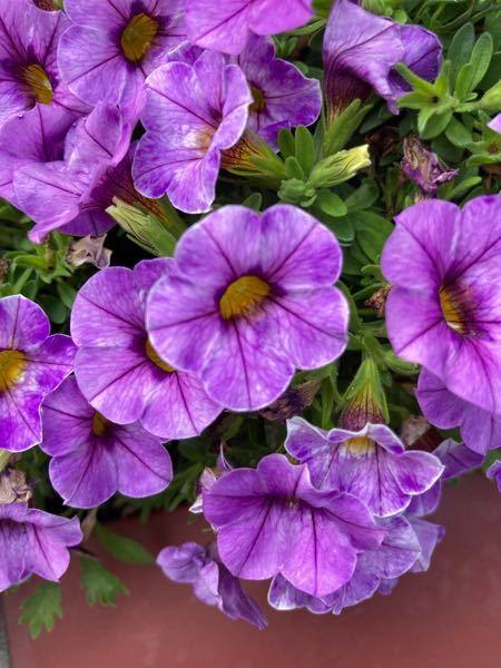 お花の名前を教えてください 画像検索していたら ペチュニア?カリブラコア?とかが 出てきます よろしくお願いします
