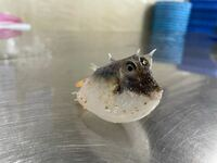 この魚わかる人いますか?