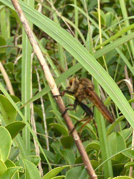 これはなんという虫ですか? 眼はおおきくトンボのような顔と体をしているのですが、胴体がすごい短いです。羽も胴体に合わせる感じで短かったです。脚の付け根から膝(?)までが黒く、そこから下はオレンジ色でした。脚だけみると蜂のようにも見えました。 なかなかピントがあわず、見にくくてすみません。