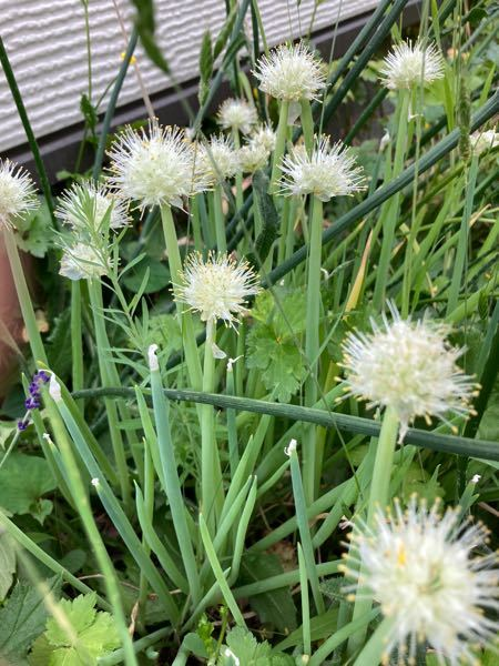 これはネギの花でしょうか? 食べられますか?