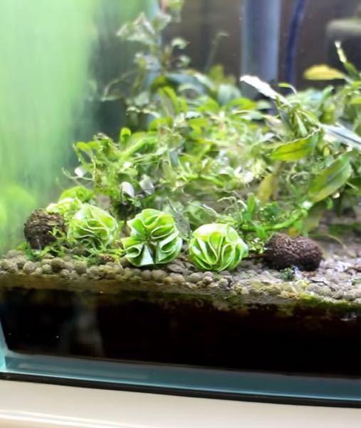 水草についてです。 この水草??はなんて名前の水草ですか??