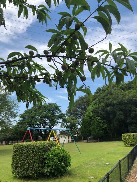散歩してたら木に緑色の実がなっていました。梅くらいのサイズです。なんという木でしょうか。公園と団地の周りに生えていました。