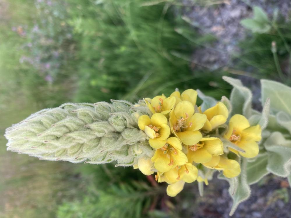 この植物は何という名前でしょうか? 毎年、この時期に近所の空き地などでよく見かけます。 丈は高いもので1メートルを超えています。 当方、札幌在住です。 お分かりになる方、よろしくお願いいたします。