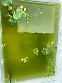メダカの稚魚水槽なのですが、これは水換えすべきですか?又、水換えの時気をつける事はありますか?