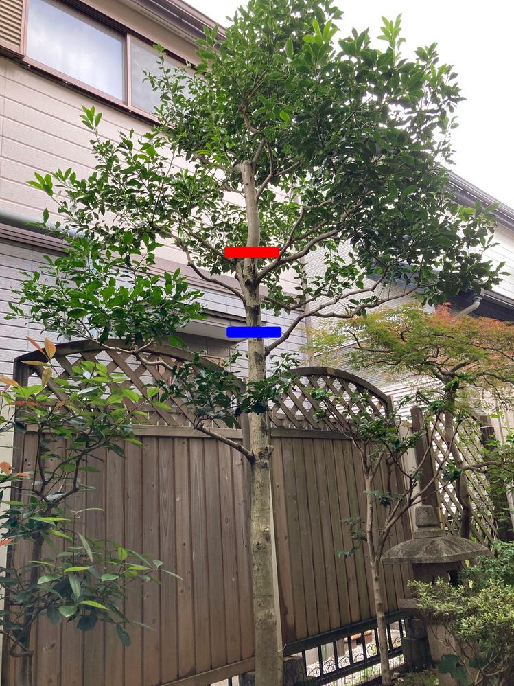 木の剪定?について質問です。 写真の木を短くしたくて赤い線と青い線のどちらかを切ってしまおうと思っているのですが、どちらを切っても見栄えが悪くなるまたは木の成長に影響が出てしまうでしょうか? ※中古物件に生えていた木なので何の木なのかわかりません。また、木には申し訳ありませんが…短くするのが難しければ少しずつ切って最終的には抜いてしまおうかと思っています。(お隣の家に上から枝や葉っぱが侵入してしまっているので)