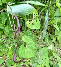 紫色の蔓植物の名前を教えてください。 また、ところどころ太いのは[虫えい]のためですか?