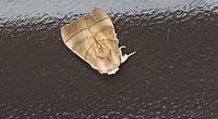 玄関に張り付いていました。 裏からみたらセミと思いましたが、5cmほどある巨大な蛾でした。 何の種類かわかる方いたら、ご教授お願いします。