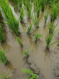 稲作の質問です。 溝切り後に溝を乾かすために水を落とすのですが、大雨の予報がある場合は水は残しておいた方が良いのでしょうか? 素人ですので説明お願いします。