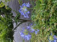 この彼岸花に似た紫の花の名前わかりますか?
