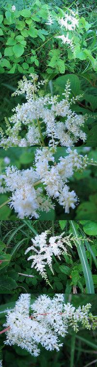 7月の標高300m~400mくらいの低山にあった植物です。 枝分かれしたそれぞれの枝に、細かい小さな白い花が沢山ついています。 何という名前の植物でしょうか??