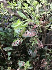 葉が虫に食われているのか、病気なのか、土壌の問題なのか、写真のような状況になっています。こちらは何かの虫による影響が高いでしょうか?