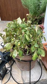 鉢植えのダリアが葉焼け?病気?で萎れてしまいました。 復活させる方法はありますか?今は枯れた葉を取って、活力剤だけあげて様子を見ています。玄関の軒下に移しましたが、あとは何をすれば良いでしょうか。