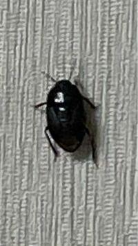 この虫の名前をご存知の方教えてください…今晩だけでも6匹退治してます、、永遠出てくるんでもし毒のある虫だったら…と思うと怖いです。どなたか教えてください…!サイズは爪ほどです。