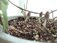 大変です!  観葉植物(ホヤ)の鉢に抜いても抜いてもキノコが生えてきてしまいます・・  根の周りに水苔があって水苔ごと土に植えているので多少湿気がこもるのだと思うのですが、 根が巻き付いていて水苔はとれません  もうだいぶ前から水やりは止めていて日に当ててますので土も乾いているのですが、  また生えてきました  最初はもっと大きくて椎茸みたいになったのもあったので多少小さくはなりましたが  ...