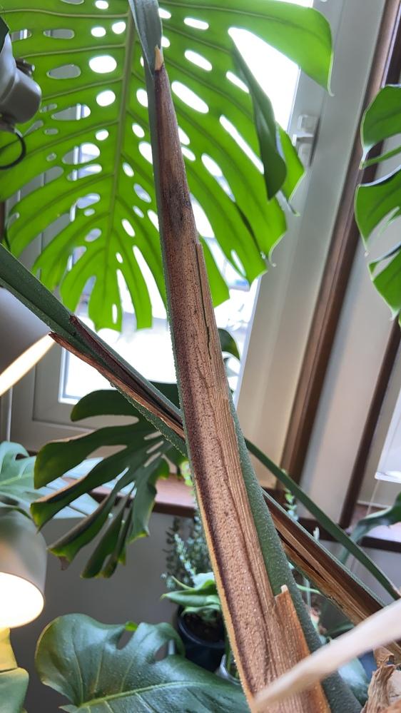 6月末に、モンステラの新芽が出る途中で植え替えをしました。 植え替えてから、発育を楽しみにしていたのですが全体的に枯れてきて…今、先端が黄色の状態です これは、もう開かないのでしょうか? 水やりの頻度が少なかったのかな… そして、この子の後に今度はどこに新芽ができるのでしょうか? 年に2.3枚くらいのペースで葉が大きく開いていたので… よろしくお願いします