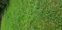 この芝生内の雑草に効く除草材は何を選べばいいでしょうか 1ヶ月前にはシバキープという除草材を撒いていますが写真のような状態です