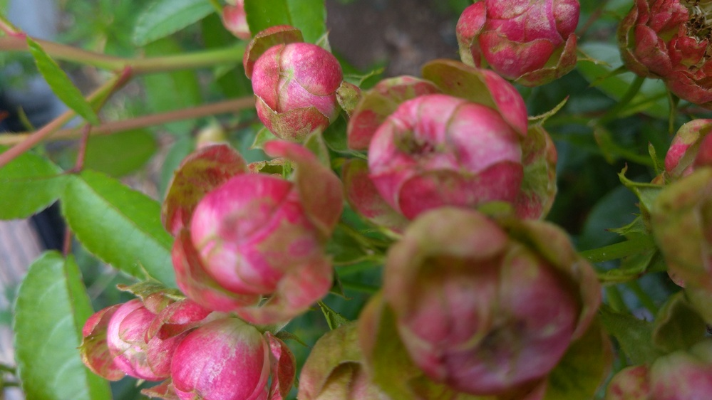 このバラの名前を知りたいです。 ずっと前から毎年庭に咲いているのですが、あまり美しくはないバラです。 バラ園に行っても同じようなバラはみたことないので名前を知りたいです。バラに詳しい方よろしくお願いいたします。 花は3cm位の丸型、ピンクと緑が混じった色。 毎年切り戻ししてますが、高さは70cm位です。葉は、小さめです。